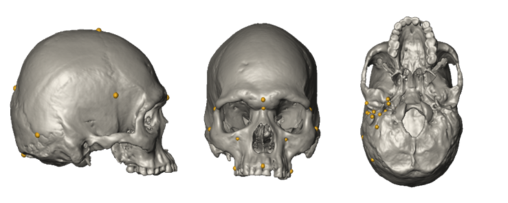 Example of a modern human cranium showing landmark points for different cranial regions. <br /> Image: University of Tübingen 2016.